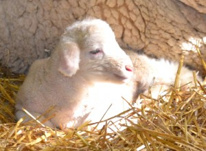 Cormo Lamb