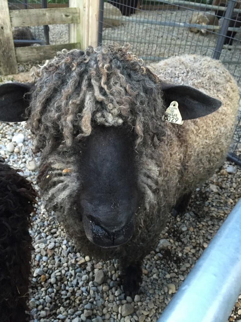 wensleydale sheep