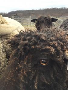 wensleydale cormo sheep
