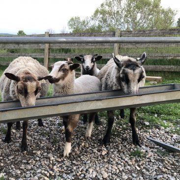 ewes lambs